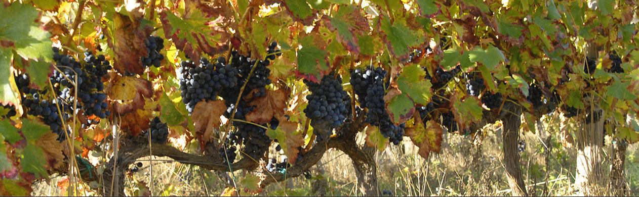 Swedish Chasseur - Wild Wine 2